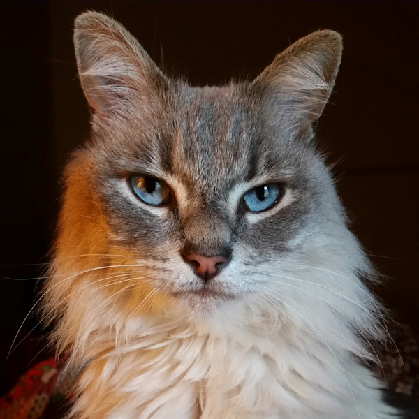 A beautiful cat named Stella Luna with piercing blue eyes, gray and white markings and a serious look about her. Photography by psychic medium and animal communicator Charles Peden of Tucson, Arizona, USA.