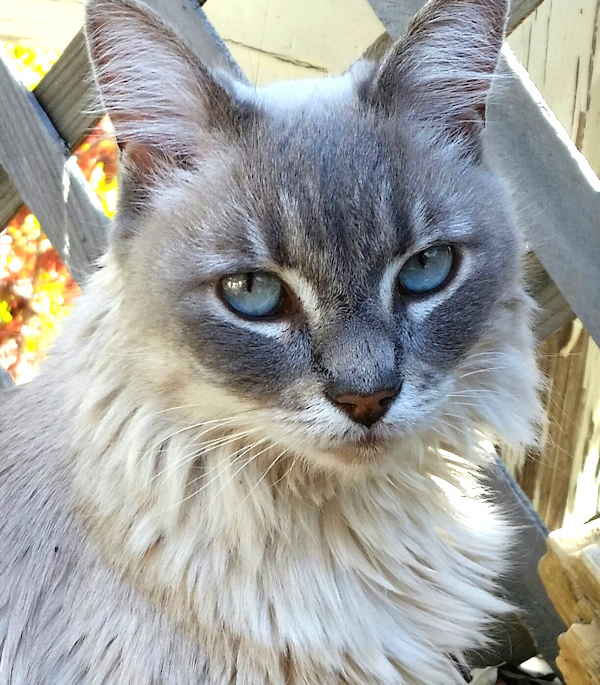 Stella Luna grey white cat Photo by Charles Peden psychic medium animal communicator Tucson Arizona