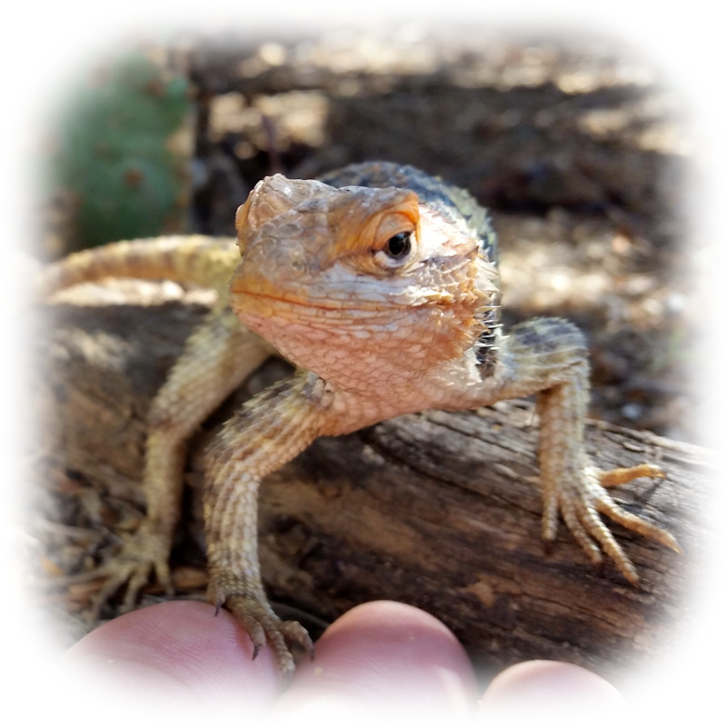 mystique the lizard Photo by Charles Peden psychic medium animal communicator Tucson Arizona