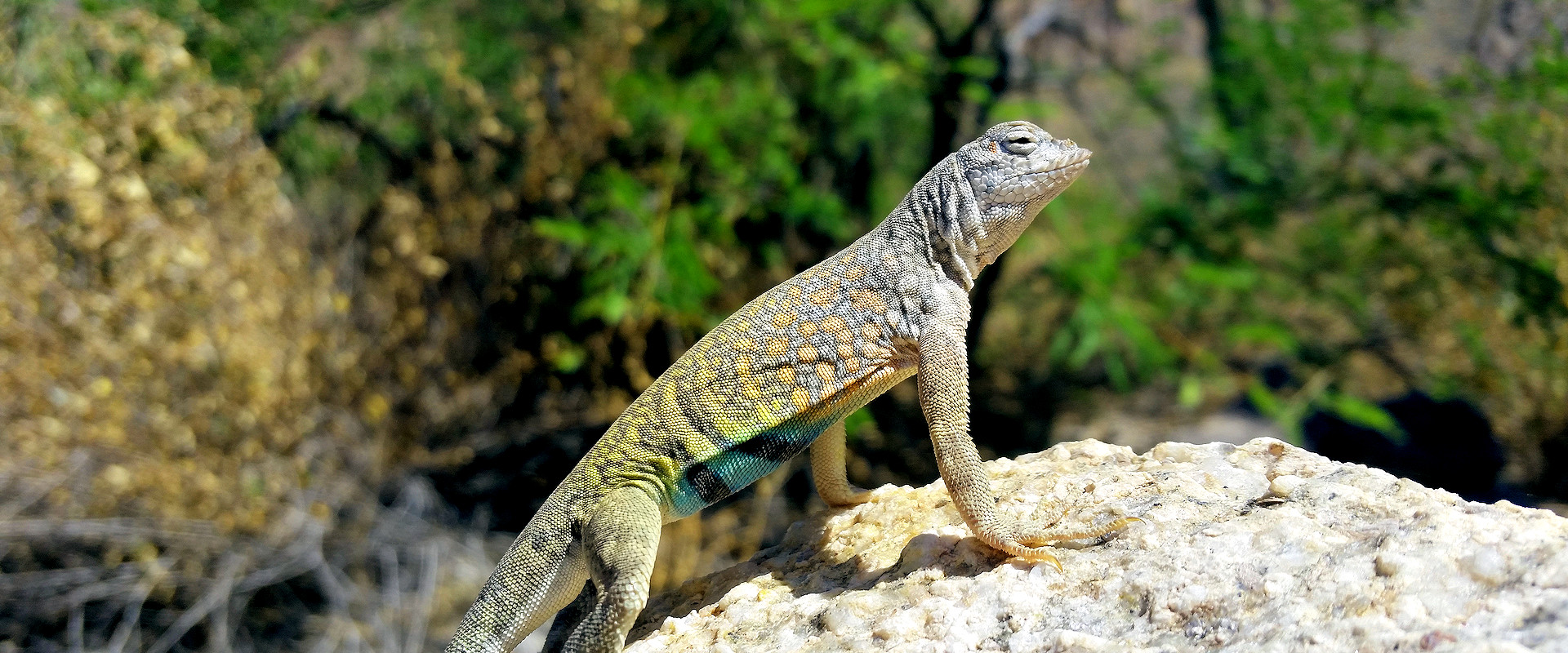 Greater Earless Lizard Photo by Charles Peden psychic medium animal communicator Tucson Arizona
