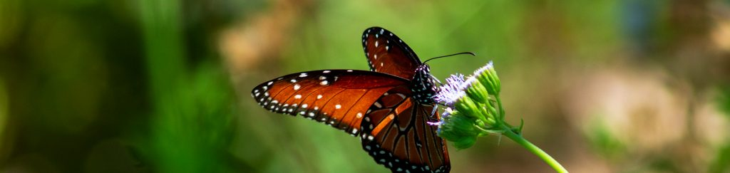 A black, orange and white colored butterfly drinking nectar from a lavender wildflower.