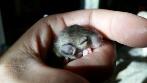 Close up of a baby pack rat in the hand of Charles Peden.