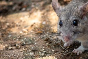 White throated wood rat AKA a pack rat, close up photograph.